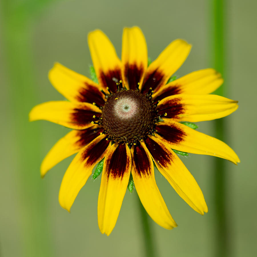 Cone Flower Photograph by Larry Maras