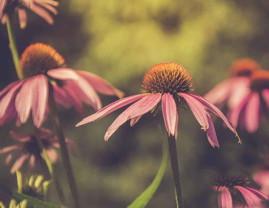 Coneflowers Bathed In Summer Warmth Photograph