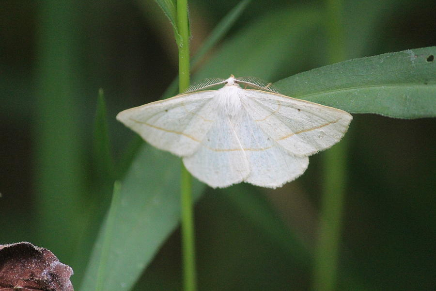Moth Photograph - Confused Eusarca by Callen Harty