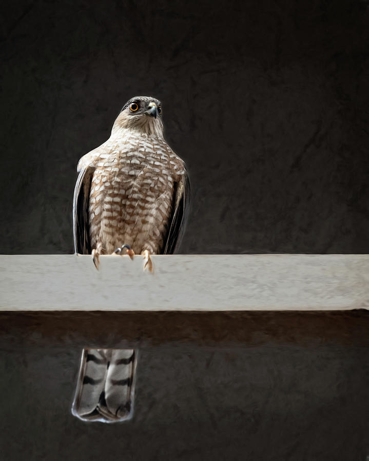 Cooper Hawk by Jennifer Grossnickle