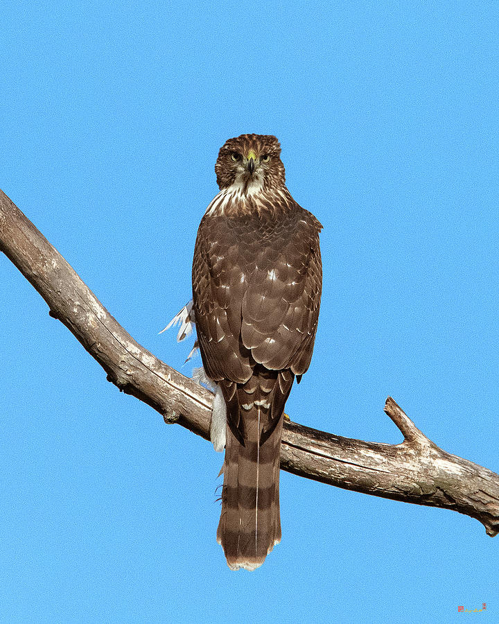 Coopers Hawk DRB0269 by Gerry Gantt
