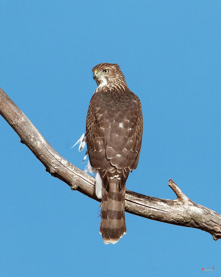 Coopers Hawk DRB0270 by Gerry Gantt