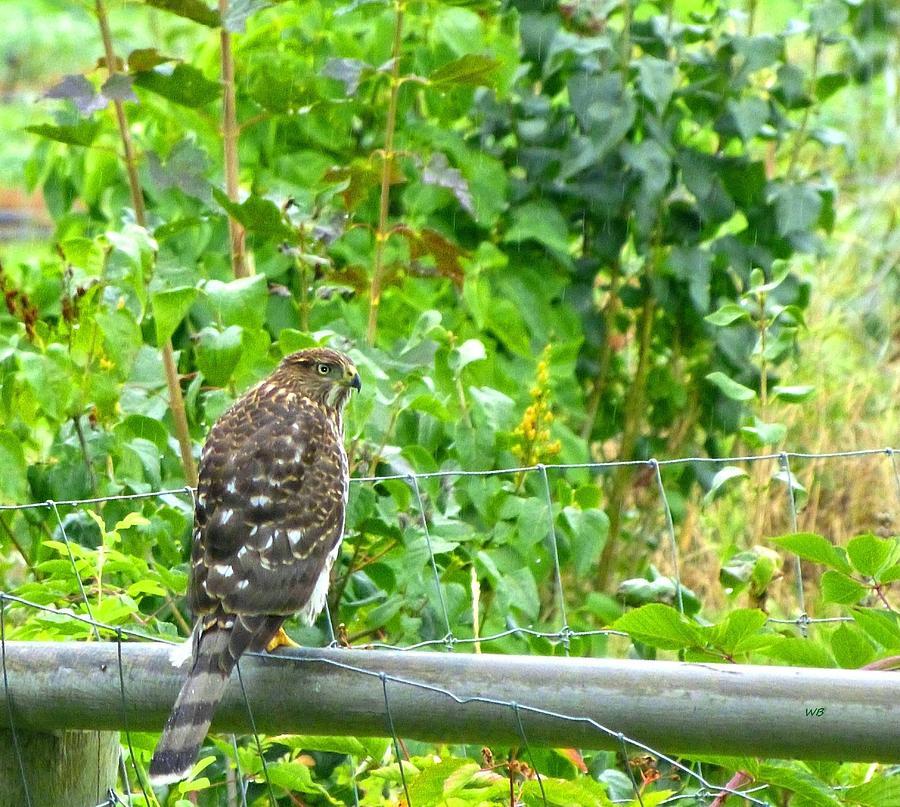 Cooper's Hawk Juvenile by Will Borden