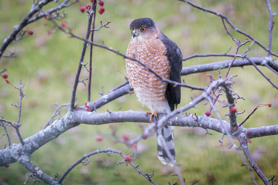 Canon Photograph - Coopers Hawk by Ricky L Jones