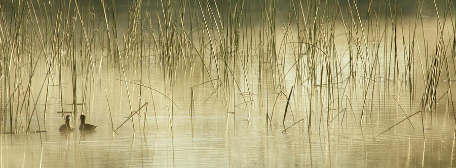 Coots In Foggy Reeds Photograph