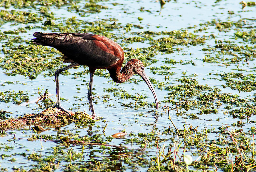 Glossy Ibis Photograph - Copper Searcher by Norman Johnson