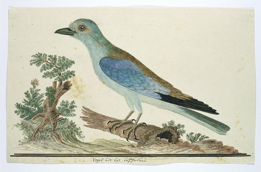 Coracius Garrulus European Roller Robert Jacob Gordon 1777 1786 Painting