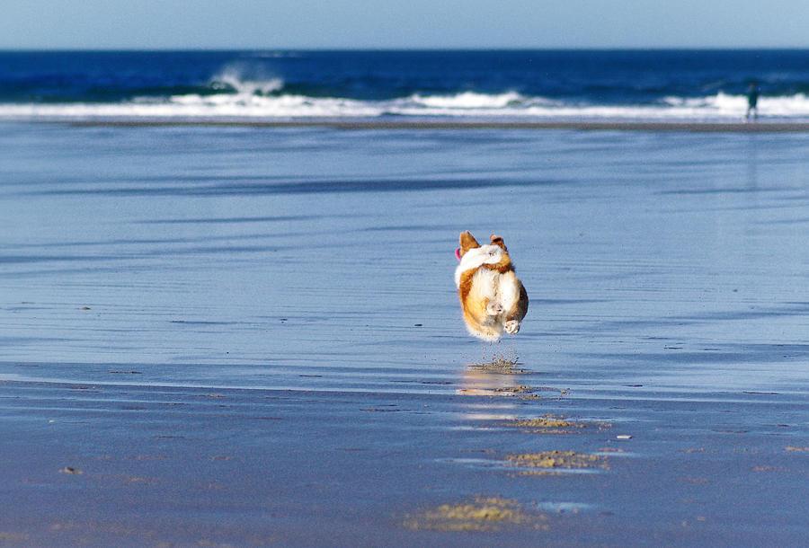 Corgi running on the coast Photograph by Sherri Damlo, Damlo Shots, Damlo Does, LLC