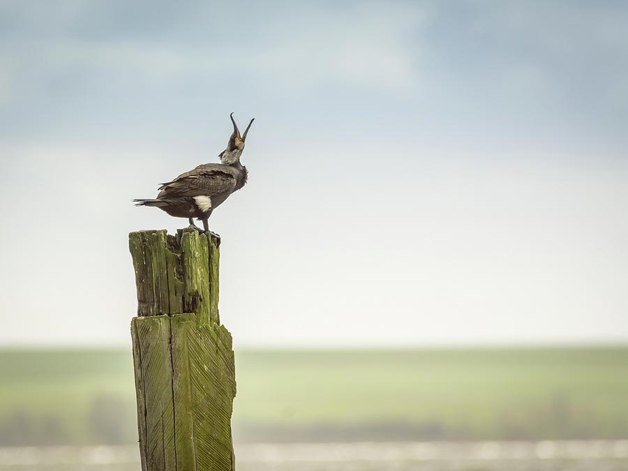 Cormorant Crying Photograph