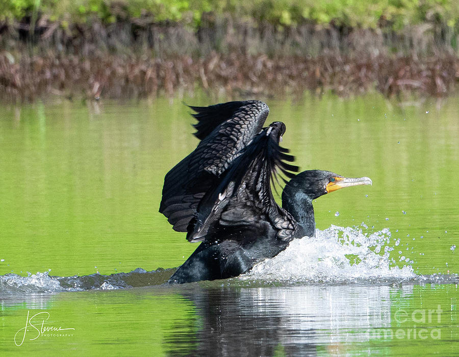 Cormorant Landing Photograph