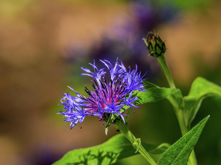 Cornflower Photograph