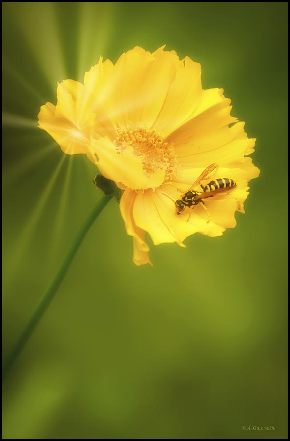 Cosmos Flower And Bee Photograph