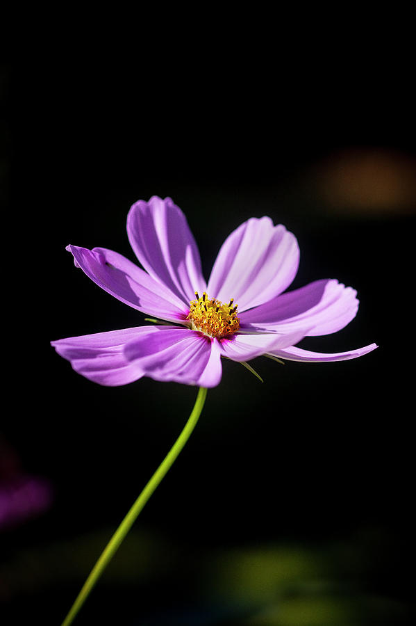 Cosmos Flowers Coreopsideae 121 by Rich Franco