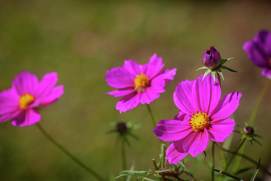 Cosmos Flowers Coreopsideae 127 by Rich Franco