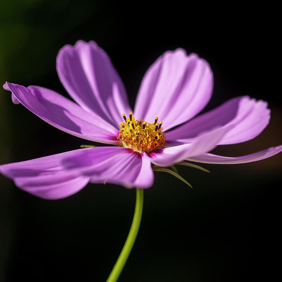 Cosmos Flowers Coreopsideae 128 by Rich Franco