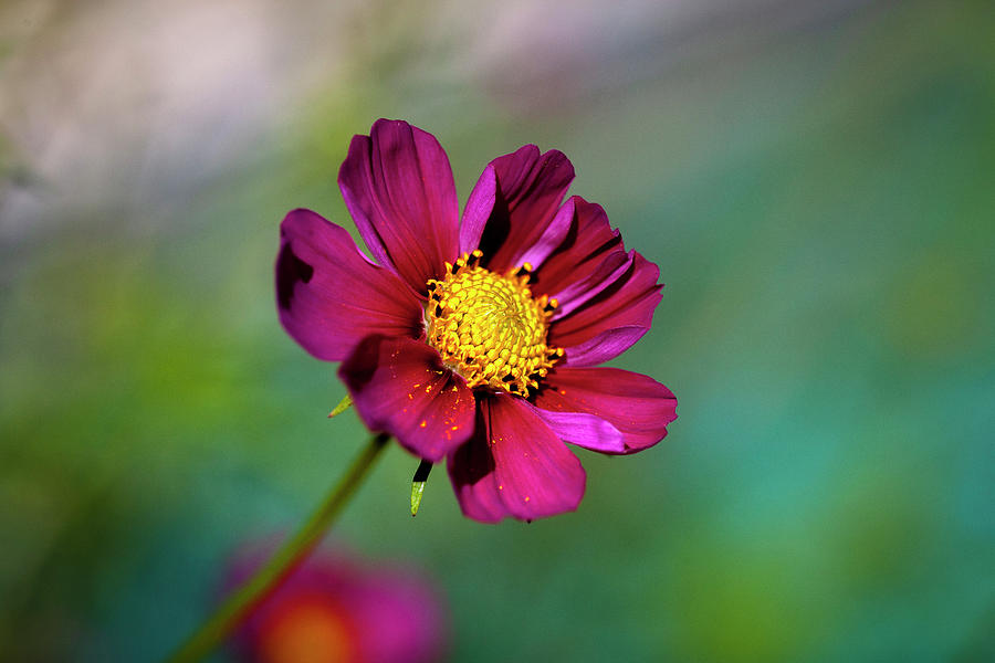 Cosmos Flowers Coreopsideae 133 by Rich Franco