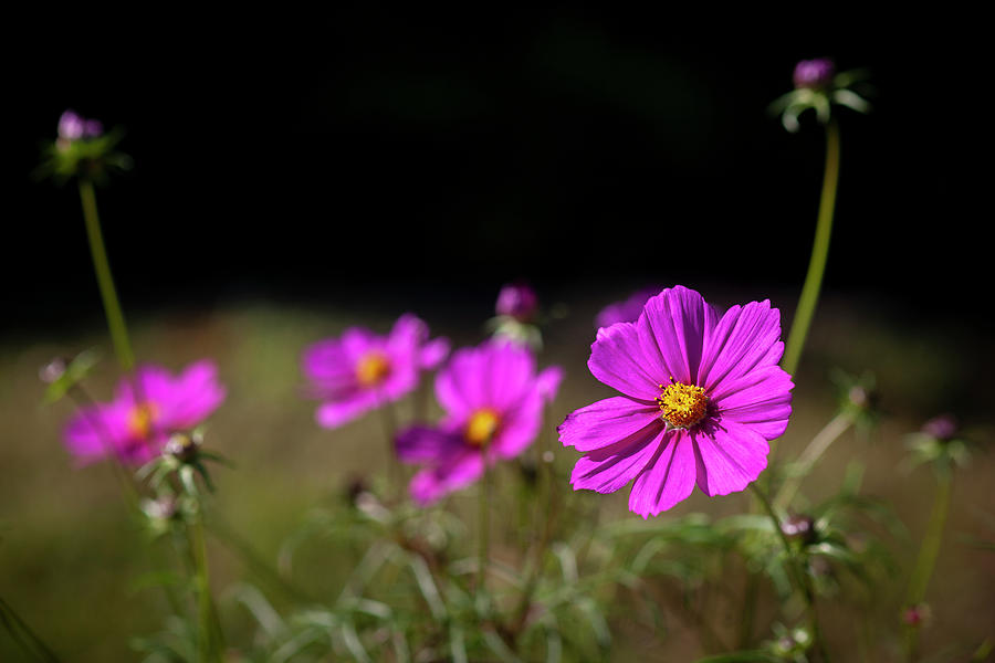Cosmos Flowers Coreopsideae 137 by Rich Franco