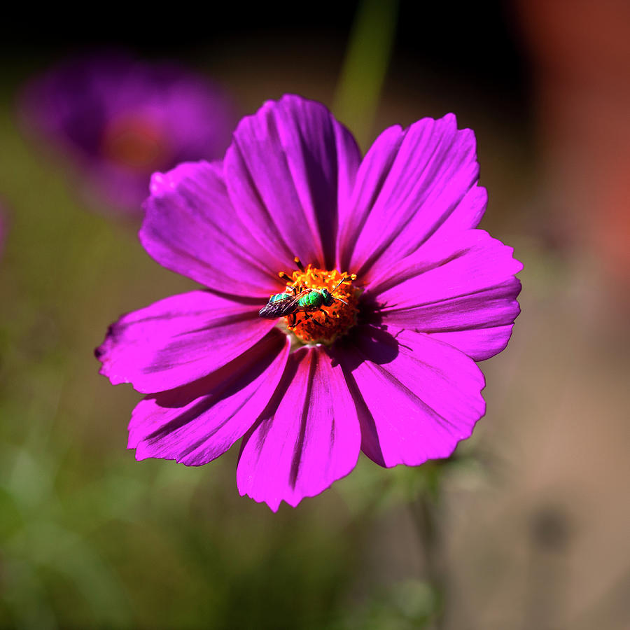 Cosmos Flowers Coreopsideae with Green Orchid Bee 126 by Rich Franco