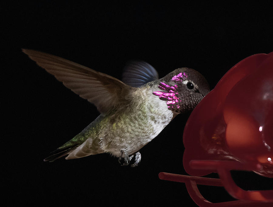 Costa's Hummingbird by Hershey Art Images