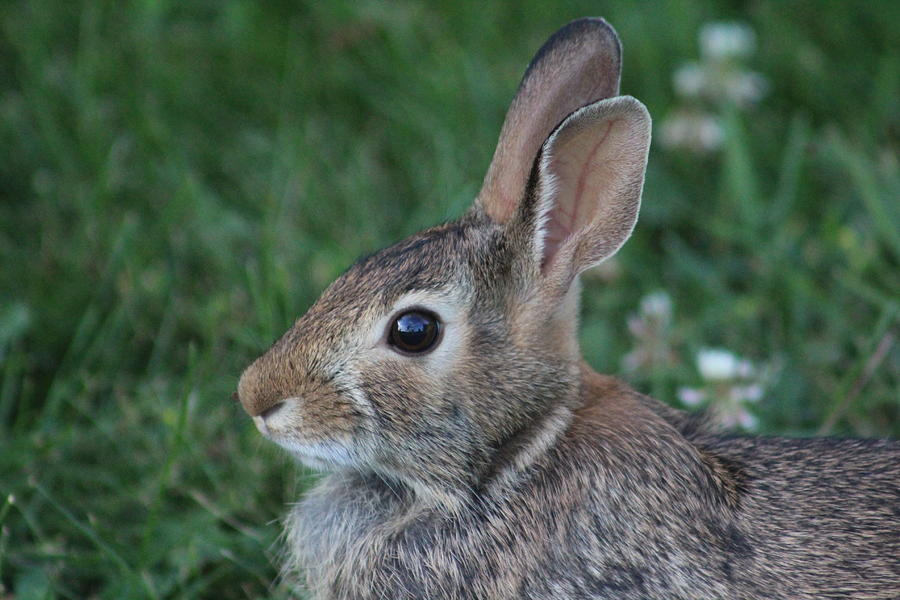 Cottontail Rabbit Photograph - Cottontail by Callen Harty