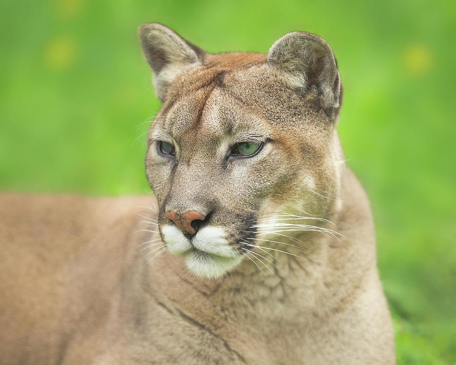 Cougar Gaze Photograph