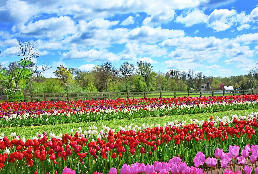 Countryside Tulip Farm Beauty Nj Photograph