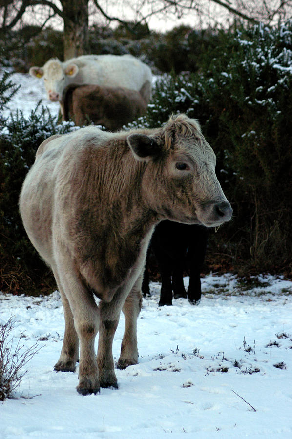 Cow in the snow New Forest National Park England by Loren Dowding