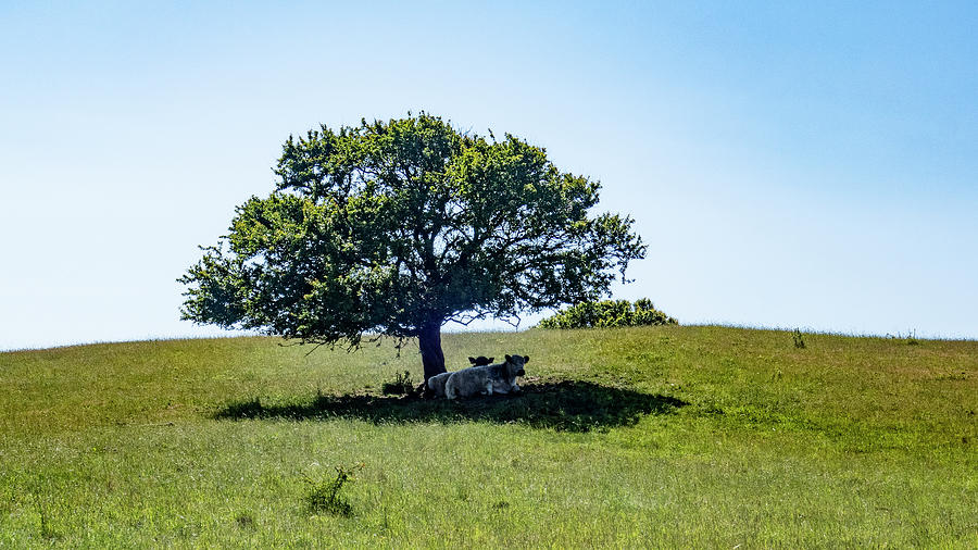 Cows In The Shade Photograph