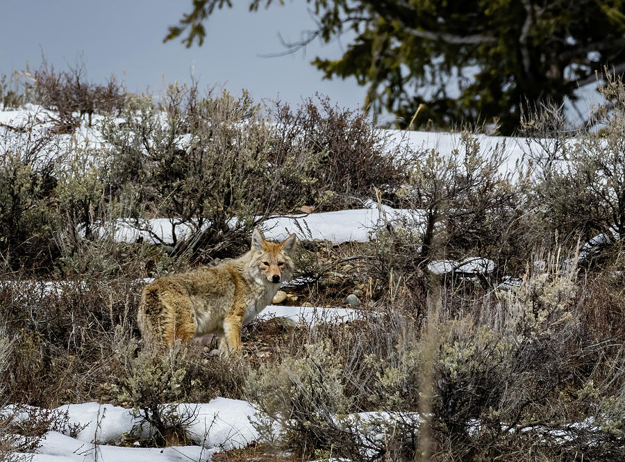 Coyote 1 by Michael Chatt