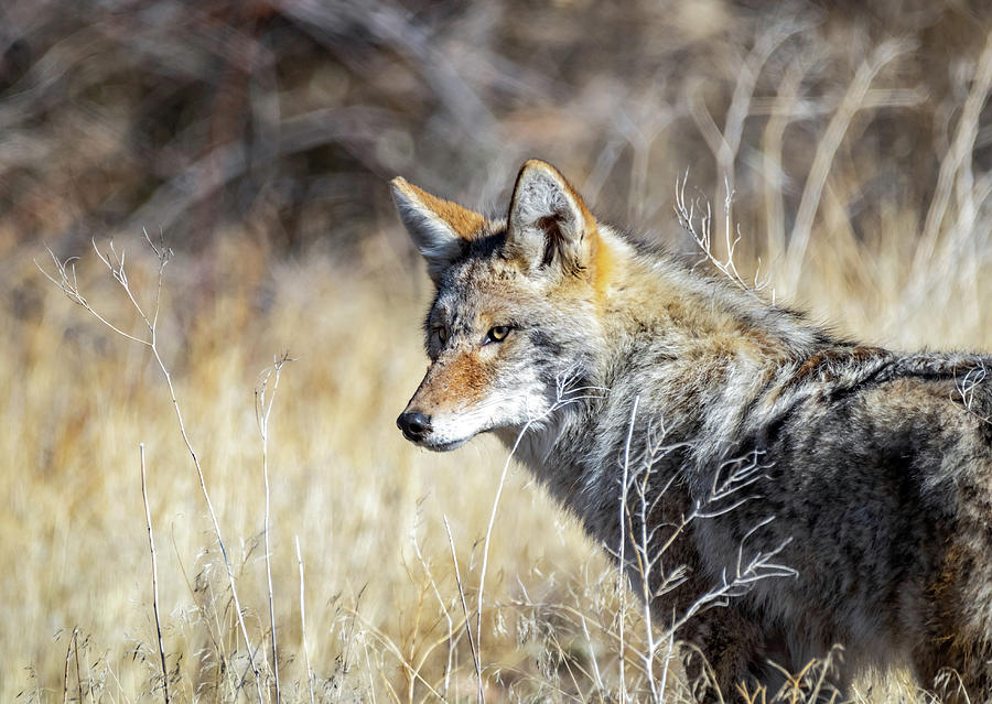 Coyote 2 by Michael Chatt