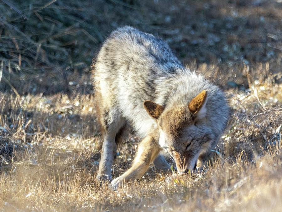 Coyote 3 by Michael Chatt
