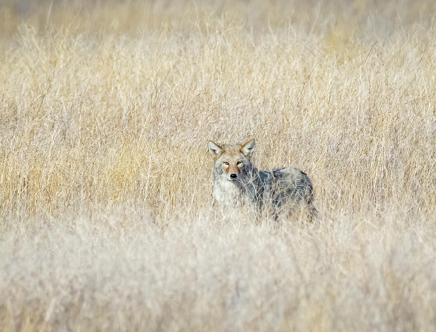 Coyote 7 by Michael Chatt
