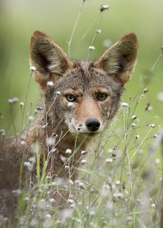 Mammals Photograph - Coyote Portrait, Sacramento County California by Doug Herr