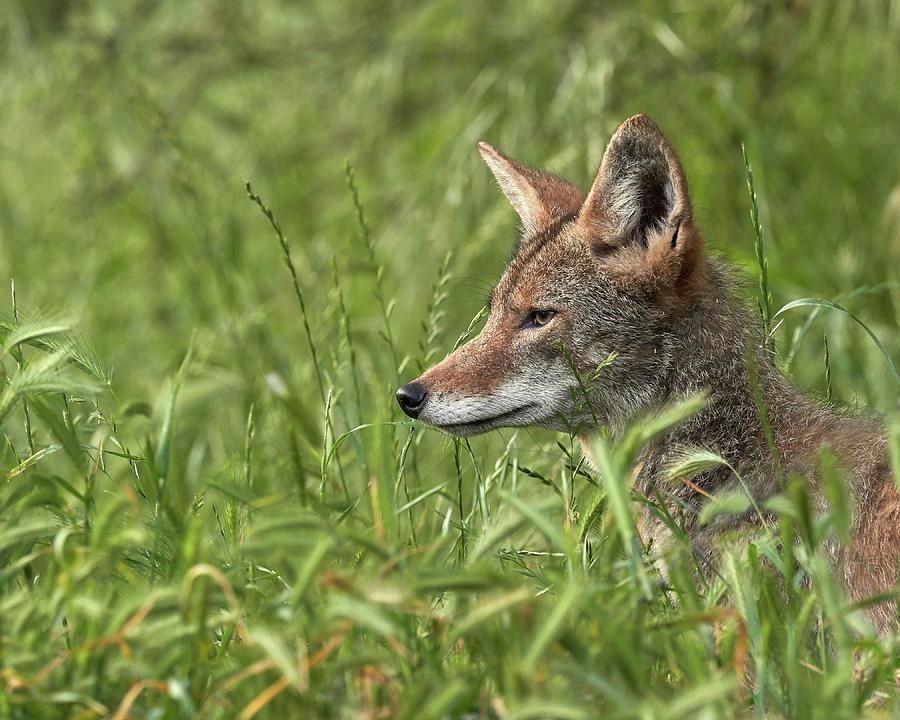 Coyote, Sacramento County California Photograph
