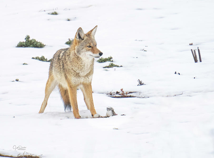 Coyote with dinner by Judi Dressler