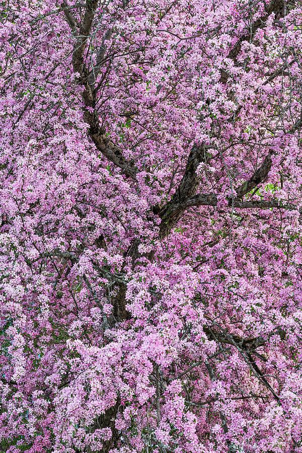 Crabapple Blossoms 2 Photograph