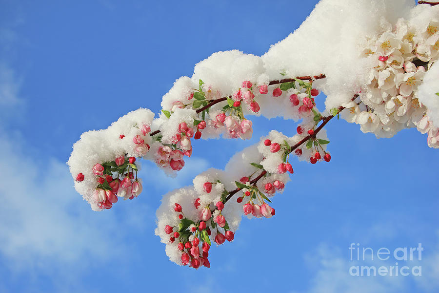 Crabapple Blossoms And April Snow 2270 Photograph