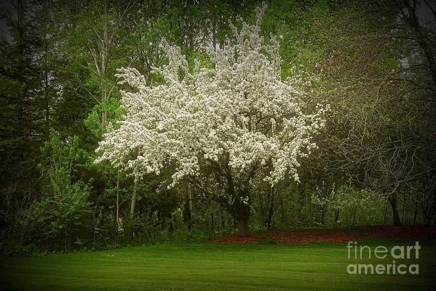 Crabapple Tree At The Edge Of The Wood Photograph