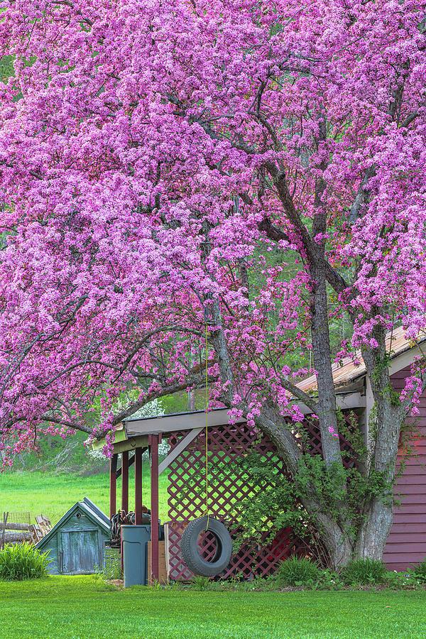 Crabapple Tree Swing Photograph
