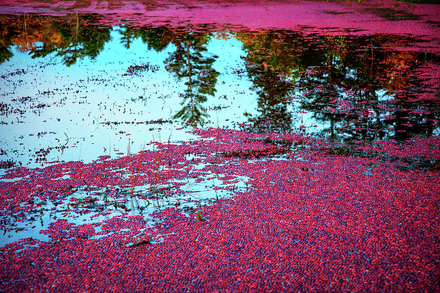 Cranberry Bogs by Joann Vitali