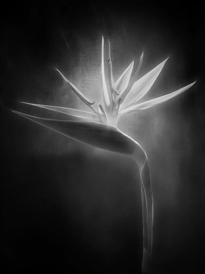 Crane Lily In Bw Photograph