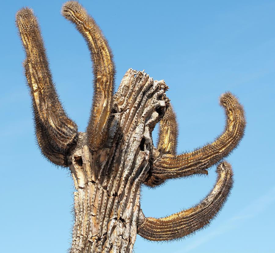 Crazy Saguaro Photograph