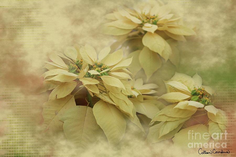 Christmas Photograph - Cream Colored Poinsettias Digital Art by Colleen Cornelius
