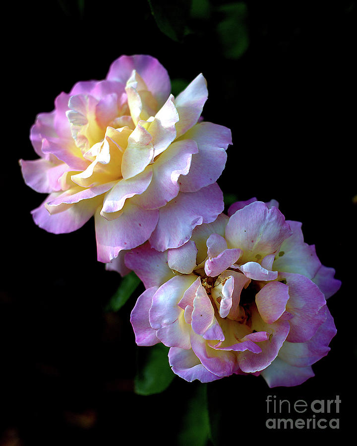 Creamy Yellow Lavender Photograph