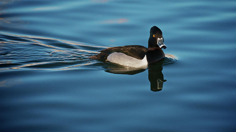 Creating Ripples, Ring Necked Duck Photograph