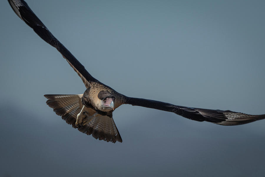 Crested Caracara in flight by Hershey Art Images