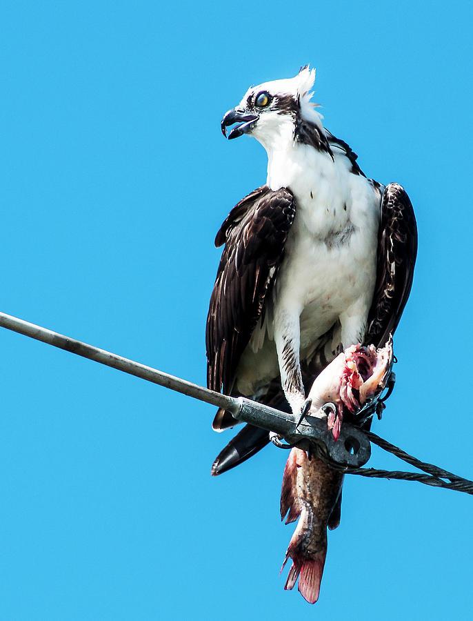 Crested Osprey Photograph