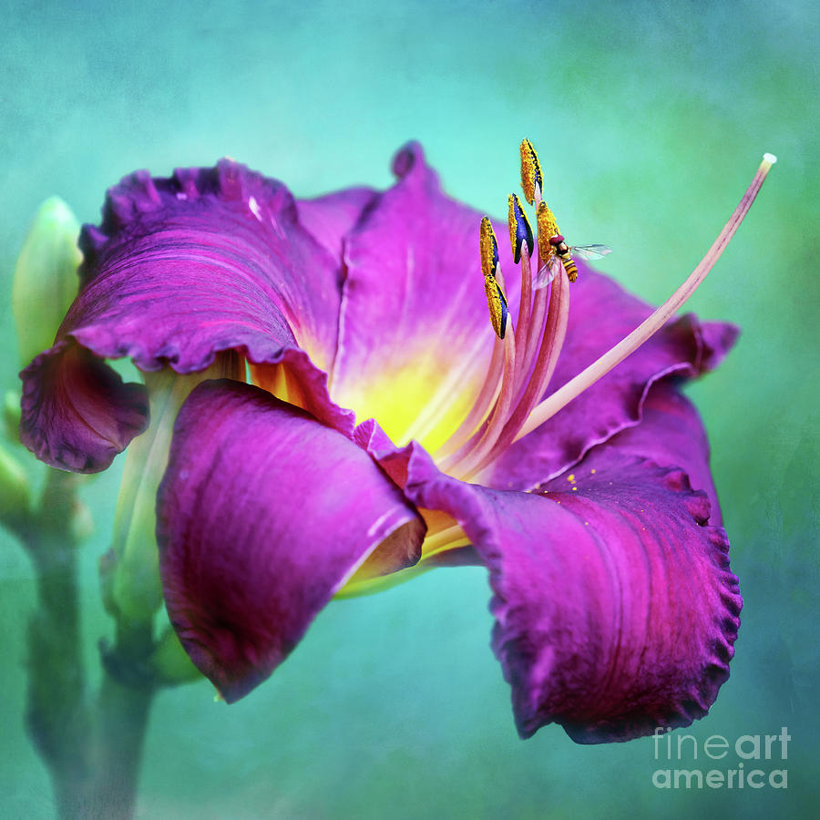 Crimson Daylily With Hoverfly by Anita Pollak