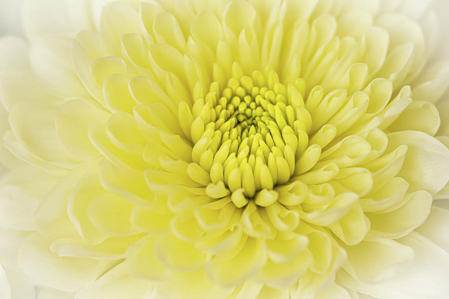 Crisantema by Silvia Marcoschamer