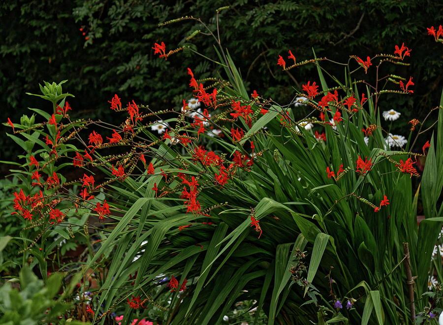 Crocosmia Garden Photograph